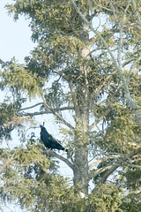 positioning the twig (useless no more) Tags: tree bird nest arctic fortsmith raven birdnest nestbuilding subarctic northerncanada canadasnorth scottlough