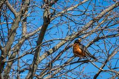 Robin (John H Bowman) Tags: birds animals virginia march parks robins smallanimals 2016 henricocounty lewisginterbotanicalgarden canon702004l localparks march2016
