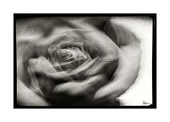 Clímax... (ángel mateo) Tags: ángelmartínmateo ángelmateo flor rosa orgasmo imaginación blackandwhite blancoynegro orgasm pink flower imagination clímax climax monocromo monochrome