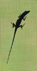 Gecko On My Window Screen