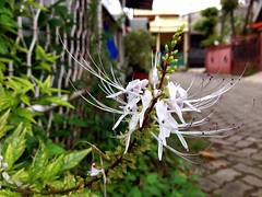 Cat's Whisker flower (bunga kumis kucing Cat's Whiskers Cat's Whisker Flower White Flower Nature Plant Gardening Outdoor Bunga Kumis Kucing Kumis Kucing Close Up (tofikkhu) Tags: flower closeup whiteflower gardening outdoor catswhisker catswhiskers natureplant kumiskucing bungakumiskucing