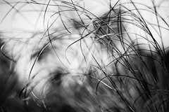Before Paper (belleshaw) Tags: sky blackandwhite plant abstract detail nature grass bokeh papyrus delicate blades laarboretum