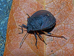 Stink-bug Platycoris rugosus (Simon Grove (TMAG)) Tags: australia tasmania insecta hemiptera pentatomidae taroona tasmanianmuseumandartgallery platycoris tmagzoology march2016