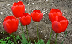 Red Poppies ! (Mara 1) Tags: flowers red plants green leaves outdoors petals spring tulips head stems