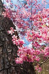 20160306-DSC_6140 (Kay's...) Tags: cherryblossom sakura   wuling wulingfarm