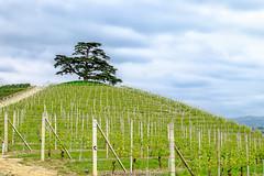 (gilbertotphotography.blogspot.com) Tags: italy panorama landscape italia view wine campagna piemonte grapes fields uva cuneo piedmont paesaggio vino lamorra langhe campi langa viti cedro