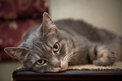 110/366 Ty (TiffK) Tags: nikon2470mmf28 cat d750 nikon animal 2470 2470f28 2470mm 2470mmf28 cats fx fullframe kitten kitty kittykat nikond750 projects 2016365 365project