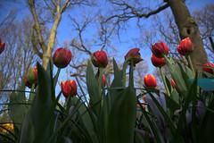 Tulips (kekaneshrikant) Tags: blue trees red sky holland amsterdam bulb canon tulips random windy sunny nederlands keukenhof canon450d