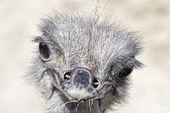 Un da en el zoo - Avestruz (Crisologo) Tags: madrid animal zoo ave avestruz