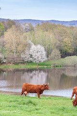 Oh la vache (Romain Guilhot) Tags: flowers nature water animal fleurs canon cow eau couleurs contraste avril arbre printemps couleur fort belfort vache cerisier journe mammifre cornes tangs eos40d auxelle