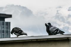 Sur le toit d'en face (Caroline Vincelet) Tags: france grenoble europe 38 isre rhnealpes