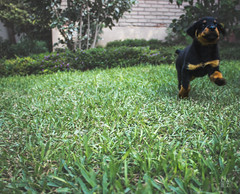 El andar de Thor (caBzPeru) Tags: dog naturaleza abstract peru nature animal yard photo photographer lima little jardin rottweiler perú perro cachorro doggy thor pe rottie pequeño photodaily photodog