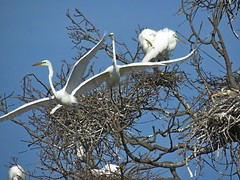 Egrets (Photos by the Swamper) Tags: birds egrets