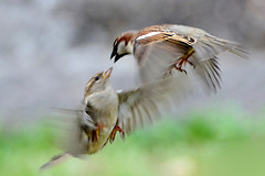 DSC_6032 (sylvettet) Tags: nature birds action oiseaux 2016 buisson nikond5100 birdbrawl