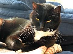 Cortez taking a sunbath. (Cajaflez) Tags: kat chat zwartwit whiskers tuxedo katze gatto huisdier sunbathing kater snorharen zonnebad