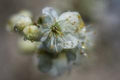 A Sign of Spring! (ashperkins) Tags: flowers macro closeup dof blossom bokeh waterdrops canonefs60mmmacro shallowfocus greengage ashperkins canoneos750d