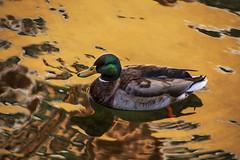 paseo dorado (clover2500) Tags: annecy pato anade