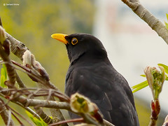Blackbird in tree (GerWi) Tags: tree birds animals tiere outdoor vgel blackbird baum rastplatz amsel