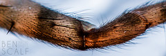 Steatoda sp. bipunctata leg - 40mm macro (ben.scalf) Tags: ohio macro texture nature animal closeup bug insect spider nikon pattern legs cincinnati wildlife arachnid science micro 40mm dslr biology lightroom steatoda d3200 bipunctata