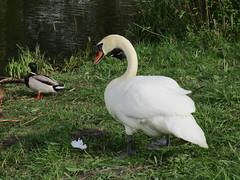 Zwaan en Eend (Arthur-A) Tags: netherlands duck swan nederland diemen eend zwaan