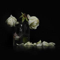 Si fos (llambreig) Tags: love rose paper death spain poetry poem amor mort flor rosa blanca record poesia nit poeta versos memria oblit ptals leveroni desmai castello castellodelaplana porcarnet