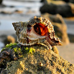 Room With a View (bob in swamp) Tags: florida shell crab estuary perch seashell hermit sunbathing marinelife palmbeachcounty lakeworthlagoon muricidae taxonomy:family=muricidae applemurex phyllonotuspomum littlemunyonisland phyllonotus taxonomy:binomial=phyllonotuspomum