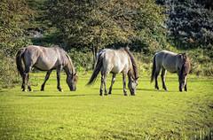 Paarden op Oranjezon (Omroep Zeeland) Tags: paarden walcheren oranjezon