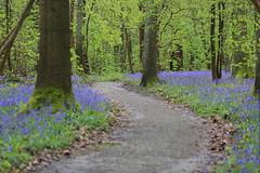 IMG_5600 (ruiterde) Tags: blauw belgium belgie halle hyacinth hallerbos sprokkjesbos