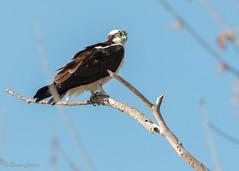 Osprey PVP 040316-6 (bmcvisions) Tags: nature nikon pennsylvania wildlife birding raptor raptors osprey d300 peacevalleypark nikon300mm
