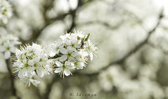 Blackthorn / Sleedoorn / Prunus spinosa (B. Idzenga) Tags: bloom bloesem blackthorn prunus blossem spinosa sleedoorn
