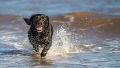 In his element. (Marcus Legg) Tags: ocean blue sea dog pet black max outdoors shiny labrador waves play bokeh retriever petportrait blacklabradorretriever wetdog marcuslegg