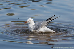 Silver gull bathing (kasia-aus) Tags: bird nature water animal wildlife seagull gull australia canberra bathing silvergull