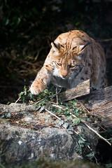 Another lynx pic (Cloudtail the Snow Leopard) Tags: animal cat mammal feline katze tierpark lynx tier luchs sugetier goldau