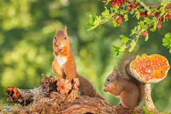 parent and child (Geert Weggen) Tags: autumn light red summer  plant cute fall nature mushroom animal closeup mammal happy rodent moss spring berry squirrel funny bright young ground toadstool pup geert perennial gooseberries weggen ilobsterit hardeko
