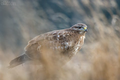 Behind the curtain (lookashG) Tags: winter portrait bird nature grass birds animal animals fauna wildlife meadow meadows natura aves wintertime grassland portret zima animalia buteobuteo ptak trawa ptaki commonbuzzard ki ka zwierzta myszow 70400mmf456gssm sonynex6 lookashggmailcom ukaszgwidziel