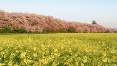 bathed in the morning sun (it05h1) Tags: morning flowers flower tree nature japan cherry landscape dawn spring blossom blossoms bank cherryblossom sakura cherryblossoms saitama cherrytree rapeblossoms fieldmustard rapeblossom satte sakurabank japanscape it05h1 cherryblossombank cherryblossomsbank