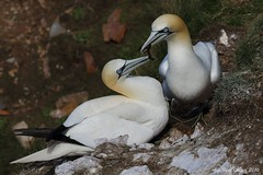 Gannet at Troup Head (AMKs_Photos) Tags: sea canon photography eos scotland aberdeenshire head aberdeen 7d shire seabird gannet troupe troup amk morus bassanus trouphead troupehead amksphotos