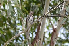Australasian Figbird (Sphecotheres vieilloti) Female (Keefy2014) Tags: female australasian figbird sphecotheres vieilloti