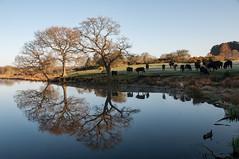 Longmoor Pool, Sutton Park (Bits n Bobs) Tags: trees reflection water nikon cattle cows suttonpark d90 longmoorpool
