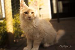 Ziggy - our Maine Coon kitten (Kayleigh G.) Tags: cats cat kitten katten kat g maine kittens coon katze ziggy kayleigh