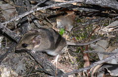Gilberts Dunnart (jeans_Photos) Tags: york marsupial westernaustralia wandoonationalpark deeforrd deeforwetlandjean sminthopsisgilberti gilbertsdunnart