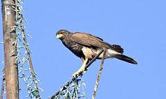 Urban Hunter -- Harris's Hawk (Parabuteo unicinctus); Catalina, AZ [Lou Feltz] (deserttoad) Tags: arizona bird nature desert hawk wildlife flight raptor behavior wildbird
