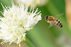 Honeybee in Flight (Johnnie Shene Photography(Thanks, 2Million+ Views)) Tags: wild people colour macro nature animal horizontal closeup canon bug insect lens photography eos rebel fly flying high still wings flora focus scenery kiss exposure angle natural image outdoor no wildlife flight scenic tranquility scene 11 depthoffield full bee short theme midair limbs flapping length tamron 90mm leek honeybee f28 freshness stationary foreground t3i x5 hymenoptera behaviour 비행 fragility hymenopteran 600d 벌 꿀벌 파꽃