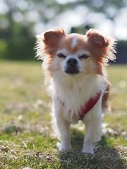 () Tags: dog chihuahua pino