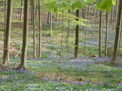 Hallerbos 2016 - Halle (BE) (Filip M.A.) Tags: bluebells forest de belgium belgique belgi hal halle jacinthes bois belgien hallerbos    hyacinthen