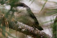 Pygmy Nuthatch (Sitta pygmaea) (emiliechenphotography) Tags: bird spring brycecanyonnationalpark 2016 pygmynuthatch sittapygmaea