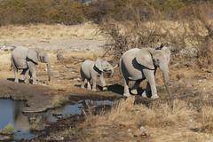 Etosha - Namibia (wietsej) Tags: elephant nature sony namibia 70200 etosha a900 sal70200g