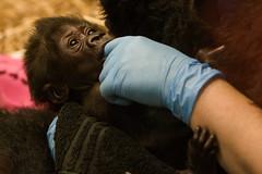 Kindi (Vincent1825) Tags: gorilla pentax 200mm louisvillezoo