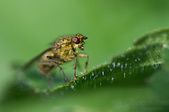 Mouche (Olivier Rapin) Tags: macro nature tamron 90mm mouche macrophotographie sonyalpha77