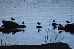 Anglers Country Park (413) (rs1979) Tags: yorkshire lapwing wakefield walton westyorkshire lapwings ryhill wintersett anglerscountrypark
